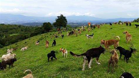 puppy land quot land of the strays quot is an outdoor sanctuary for adoptable dogs in costa rica dogtime