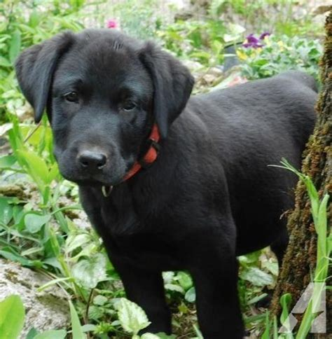 lab puppies oregon labrador retriever pups black akc males only ofa for sale in grants pass oregon