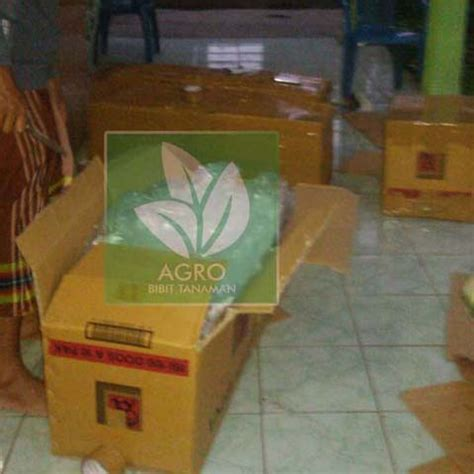Bibit Nangka Mini Merah pengiriman bibit nangka mini ke jambi agro bibit id