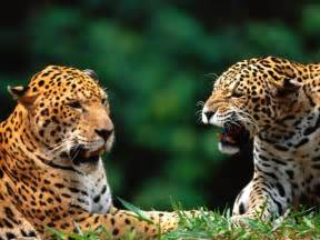 Jaguar Cat Jaguar Pictures Pics Images And Photos For Your