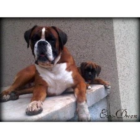 boxer puppies in missouri boxers boxer breeder in joplin missouri