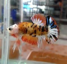 Plakat Koi Orange betta fish fact 27 crown betta fish are currently