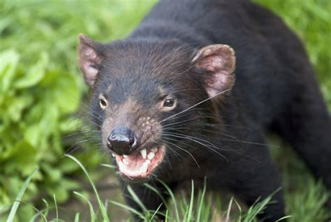 monster worldwide inc 8 fiendish facts about tasmanian devils mental floss