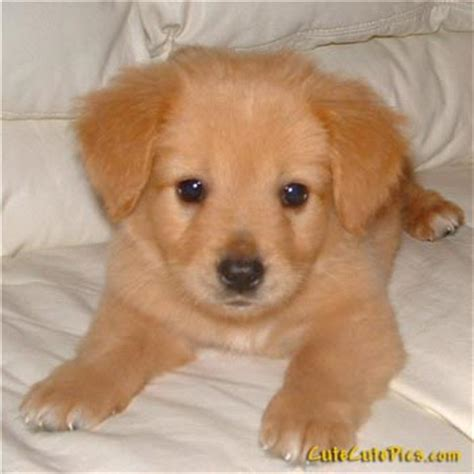 really golden retriever puppies pictures of puppies kittens baby animals 187 and sweet puppy pictures