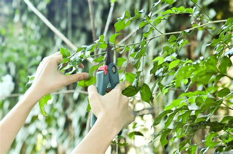 steps on how to prune your tree prune tree