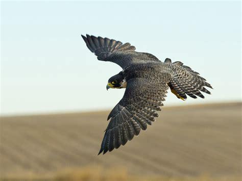 le faucon dnich pleine le faucon 201 veil de la conscience 194 mour