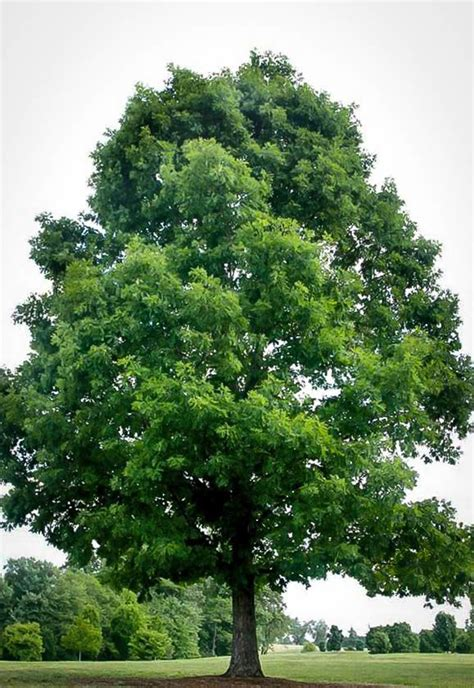 whit tree white oak for sale the tree center