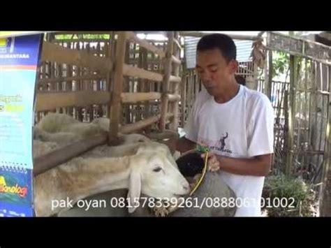 Fermentasi Pakan Ternak Em4 fermentasi gedebog pisang untuk pakan ternak
