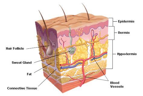 diagram of the dermis orangesdms skin cs