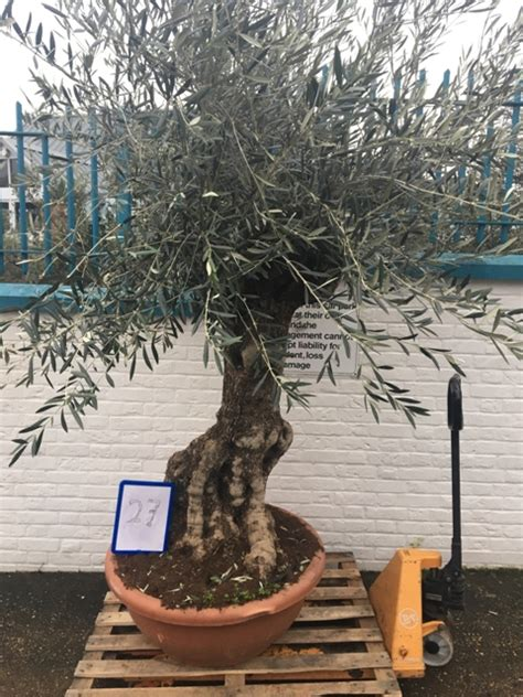 the company of trees a year in a lifetime s quest books large bonsai olive tree in bowl for sale free delivery