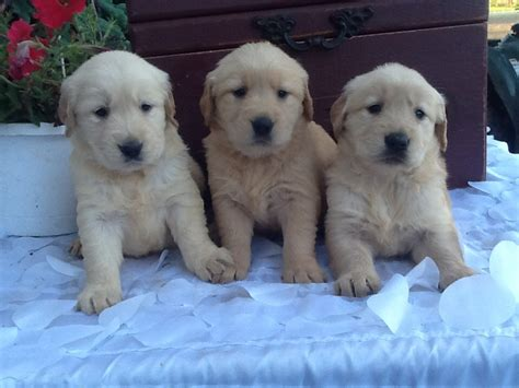 3 week golden retriever puppies golden retriever puppy 2 weeks dogs in our photo