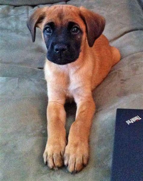 are labs and golden retrievers the same best 25 boxer mix ideas on mix pitbull pitbull boxer mix and boxer mix