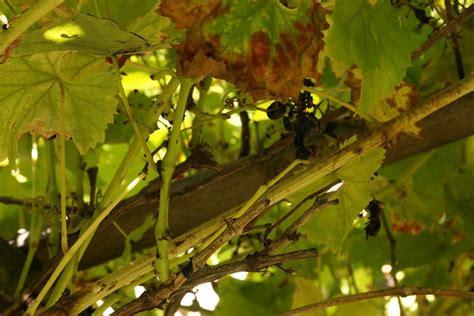 weinreben pflanzen alles 252 ber pflanzzeit standort und