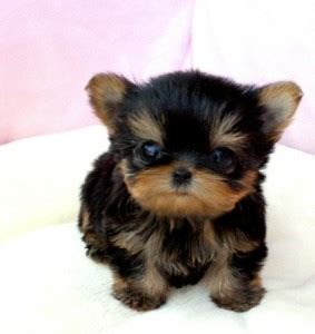 teacup yorkie rescue yorkies for adoption in florida breeds picture