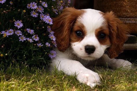 cavalier king charles spaniel  cavie  cavalier dog breed answers