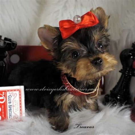 white teacup yorkies for sale yorkie puppies for sale yorkie puppy and puppies for sale on