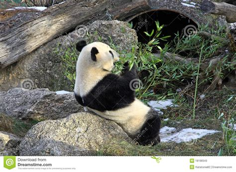 giardino zoologico vienna de reuze panda draagt in de dierentuin wenen stock