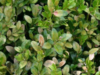 Schädlinge An Pflanzen 3093 by Buchsbaum Sch 228 Dlinge