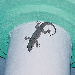 how to get rid of house gecko how to get rid of house lizards how to get rid of stuff
