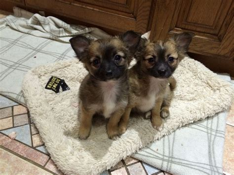 haired chihuahua puppy haired chihuahua puppies ready now warrington cheshire pets4homes