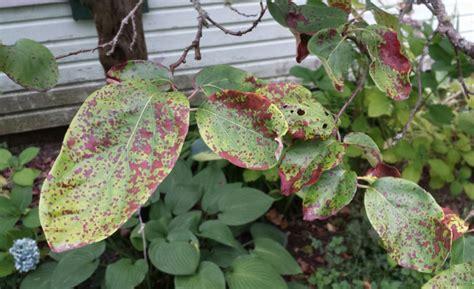 fruit tree spots seattle arborist leaf design and tree care