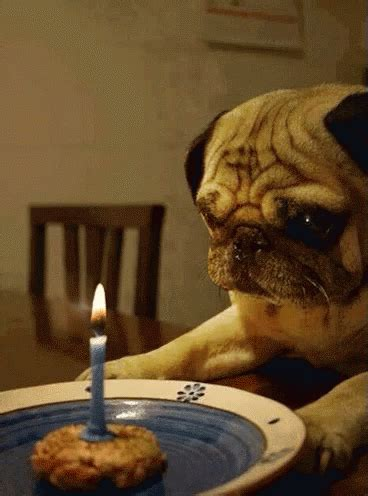 pug birthday gif happy birthday gif happy birthday pug discover gifs