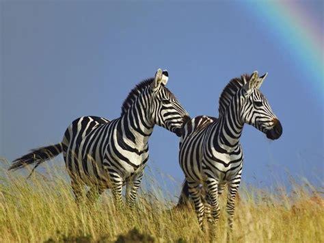 Zebra Wallpaper Pinterest | 17 best ideas about zebra wallpaper on pinterest
