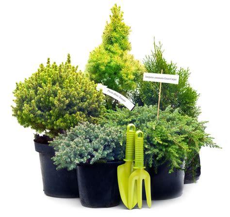 alberelli da vaso le conifere nane per il terrazzo cose di casa