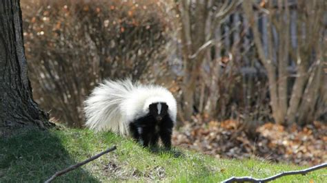 skunk smell in the house how do you eliminate skunk odor in the house reference com