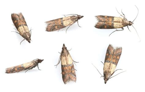 preventing indian meal moths from damaging your property
