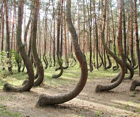 crooked forest poland crooked forest west pomerania poland photorator