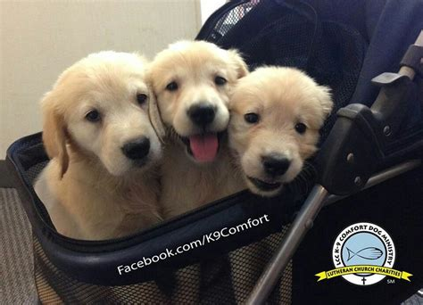 cheerio golden retrievers future comfort dogs golden retrievers