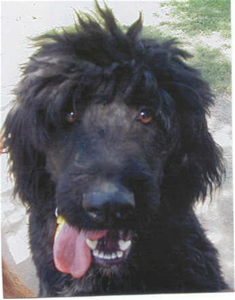 newfoundland poodle mix puppies popular poodle mix breeds breed info center dbi rachael edwards