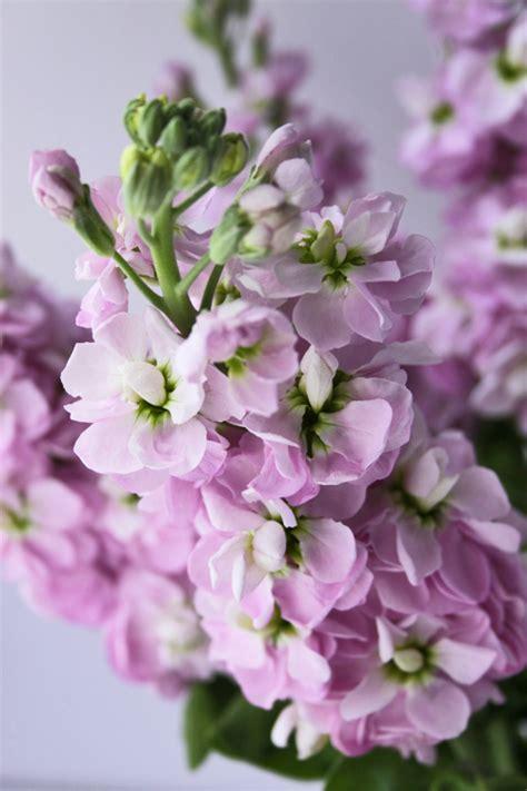 Scented Garden Flowers Stock A Wonderfully Fragrant Flower Flowerona