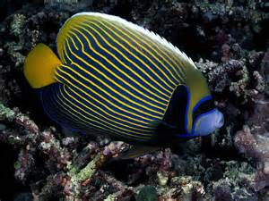 colorful fish best wallpapers colorful fish wallpapers