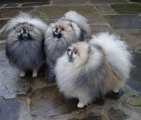 silver pomeranian puppies image detail for hues brothers ch pomanna silver at jacobian right and ch
