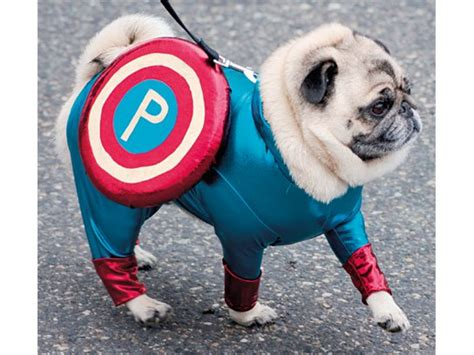 pugs costumes photos of pugs in costumes reader s digest