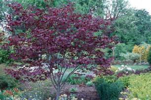 redbud cercis maas nursery