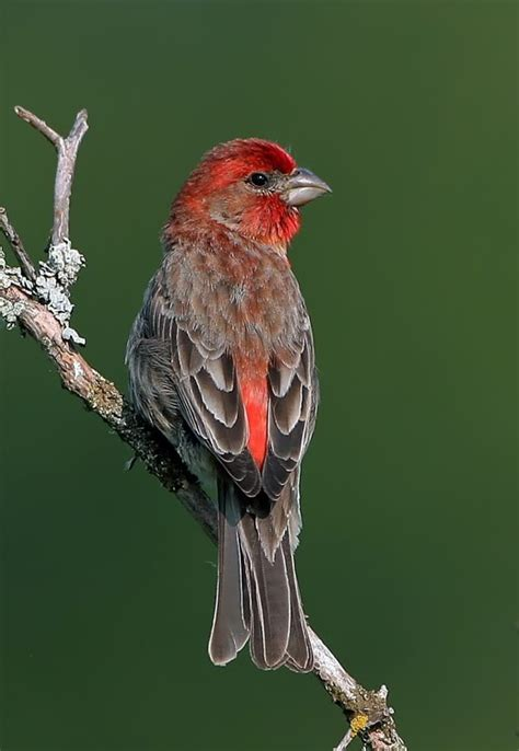 house finch house finch birds and trees pinterest