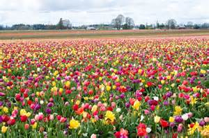 thenigo com blooming tulips in the netherlands