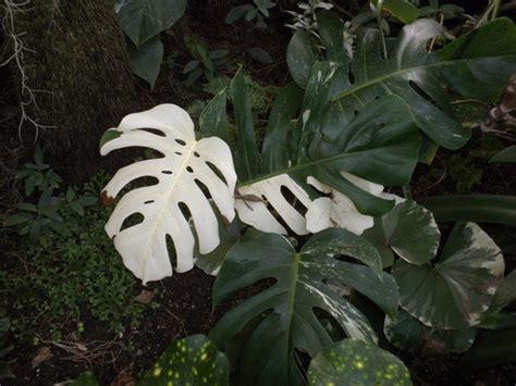 monstera deliciosa variegata variegated split leaf