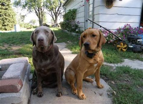 silver lab puppies for sale in ny silver labrador retriever puppies for sale in new york dogs our friends photo