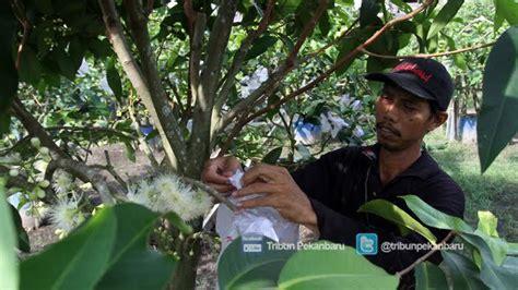 taman agrowisata pekanbaru pengunjung bisa petik buah