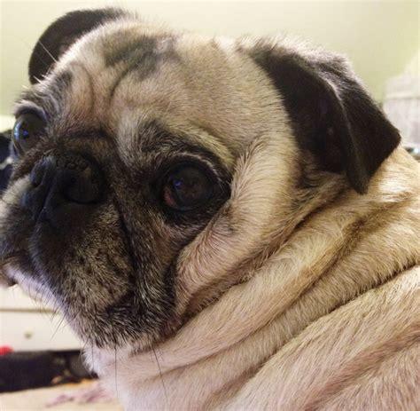 pug wrinkles insta friday 57 this pug