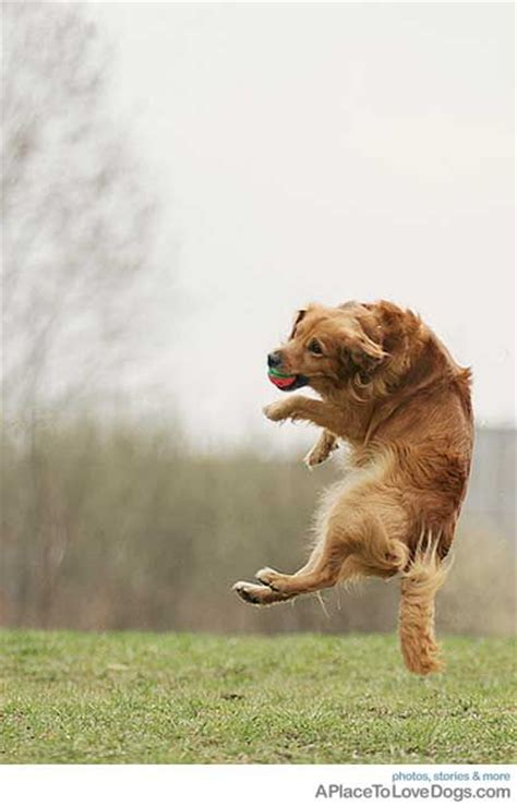 golden retriever jumping 17 best images about golden retrievers jumping on golden rule puppys and