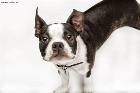 boston terrier puppies boston bull boston bull terrier