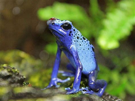 imagenes animales anfibios los animales vertebrados los anfibios elpopular pe