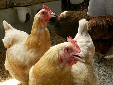 wont stop panting weather care for chickens hencam