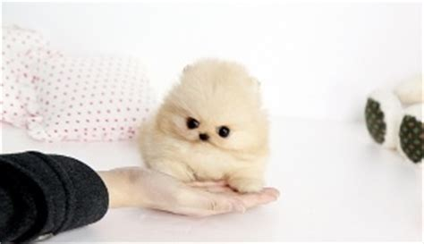 my pomeranian keeps coughing 85 best pomeranian puffballs images on animals pomeranians and puppies