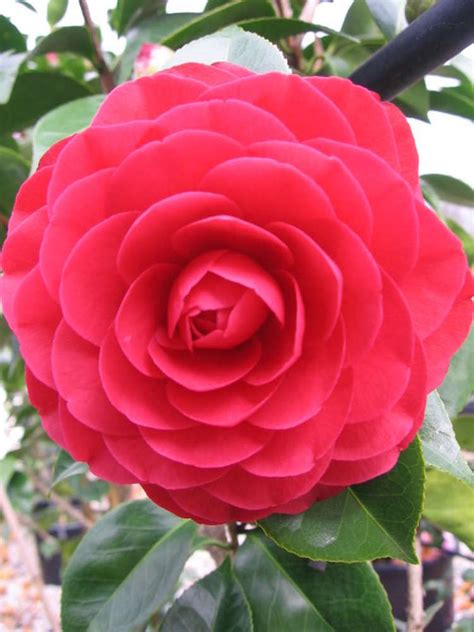 camellia red red rose  pot   plants
